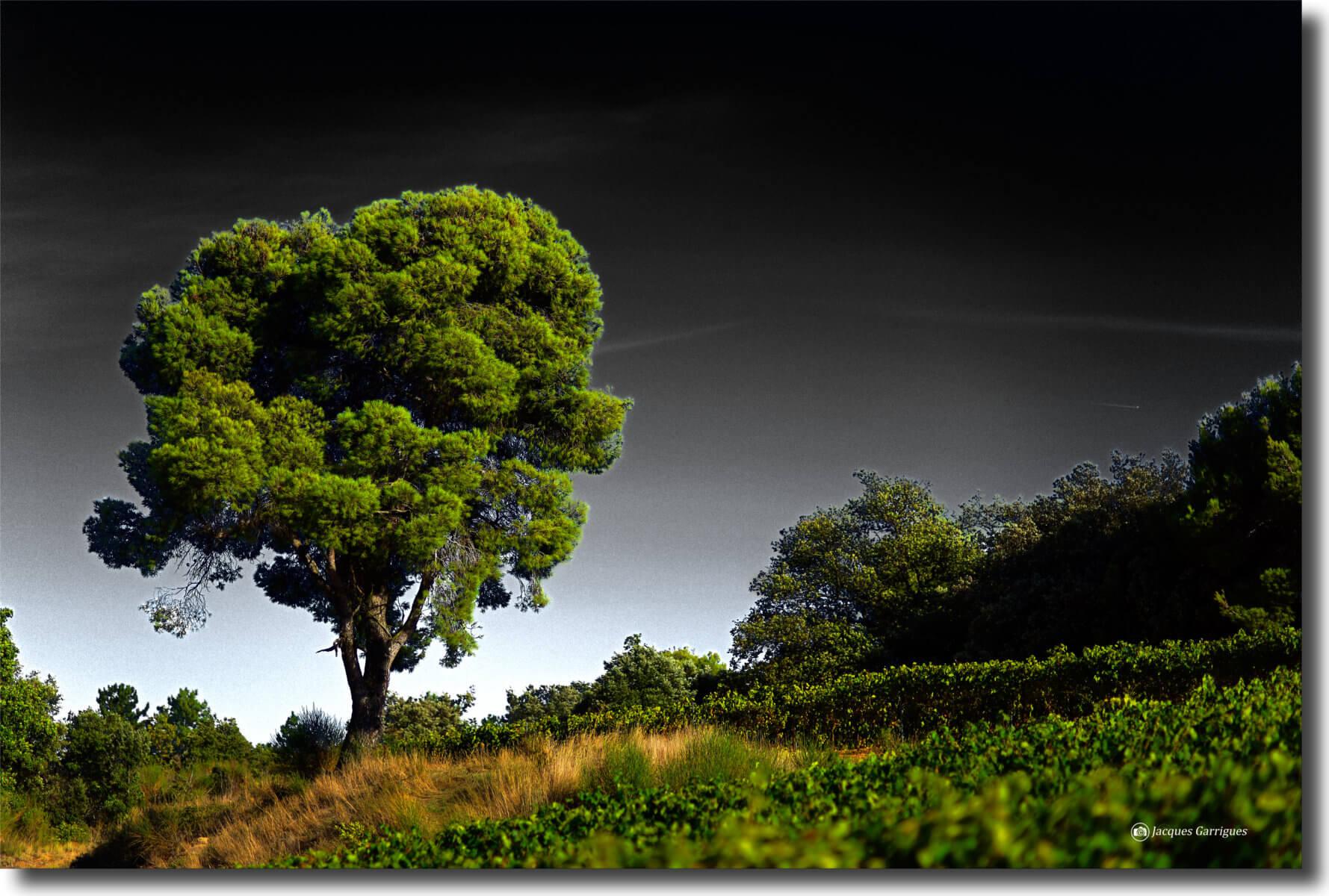 Pin vert ( un jour sans atmosphère)