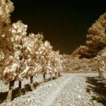 Rangée de vigne en S-IR